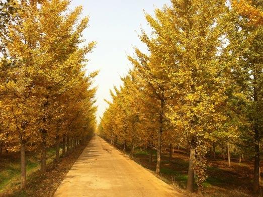 山东银杏,山东银杏树,山东银杏树价格,银杏树价格