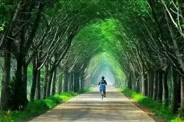 邳州银杏时光隧道,美哭你的双眼